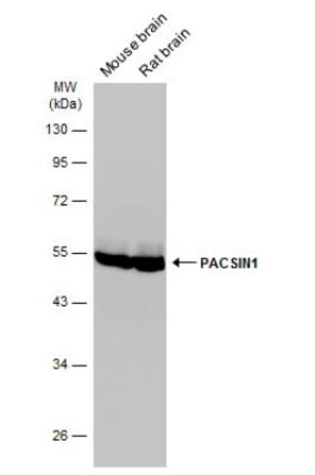 anti-PACSIN1, Polyclonal, Novus Biologicals 0.1mL; Unlabeled:Life Sciences