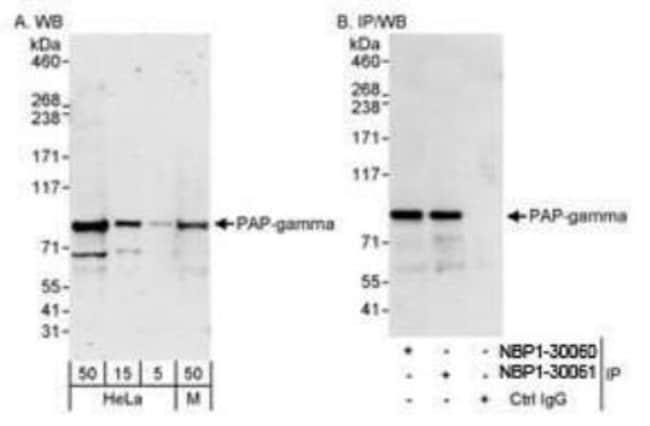 anti-PAPOLG, Polyclonal, Novus Biologicals 0.1mL; Unlabeled:Life Sciences
