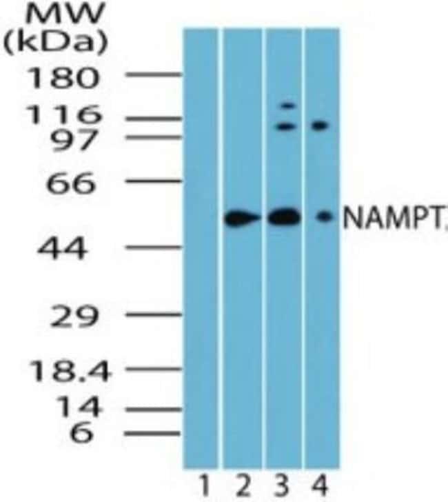 anti-PBEF/Visfatin/NAMPT, Polyclonal, Novus Biologicals:Antibodies:Primary