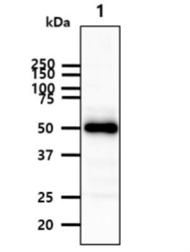 anti-PEDF R/PNPLA2/ATGL, Clone: 2G2, Novus Biologicals 0.1mg; Unlabeled:Life