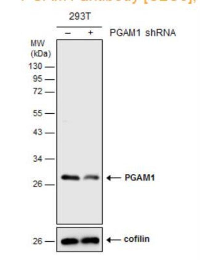 anti-PGAM1, Polyclonal, Novus Biologicals 0.1mL; Unlabeled:Life Sciences