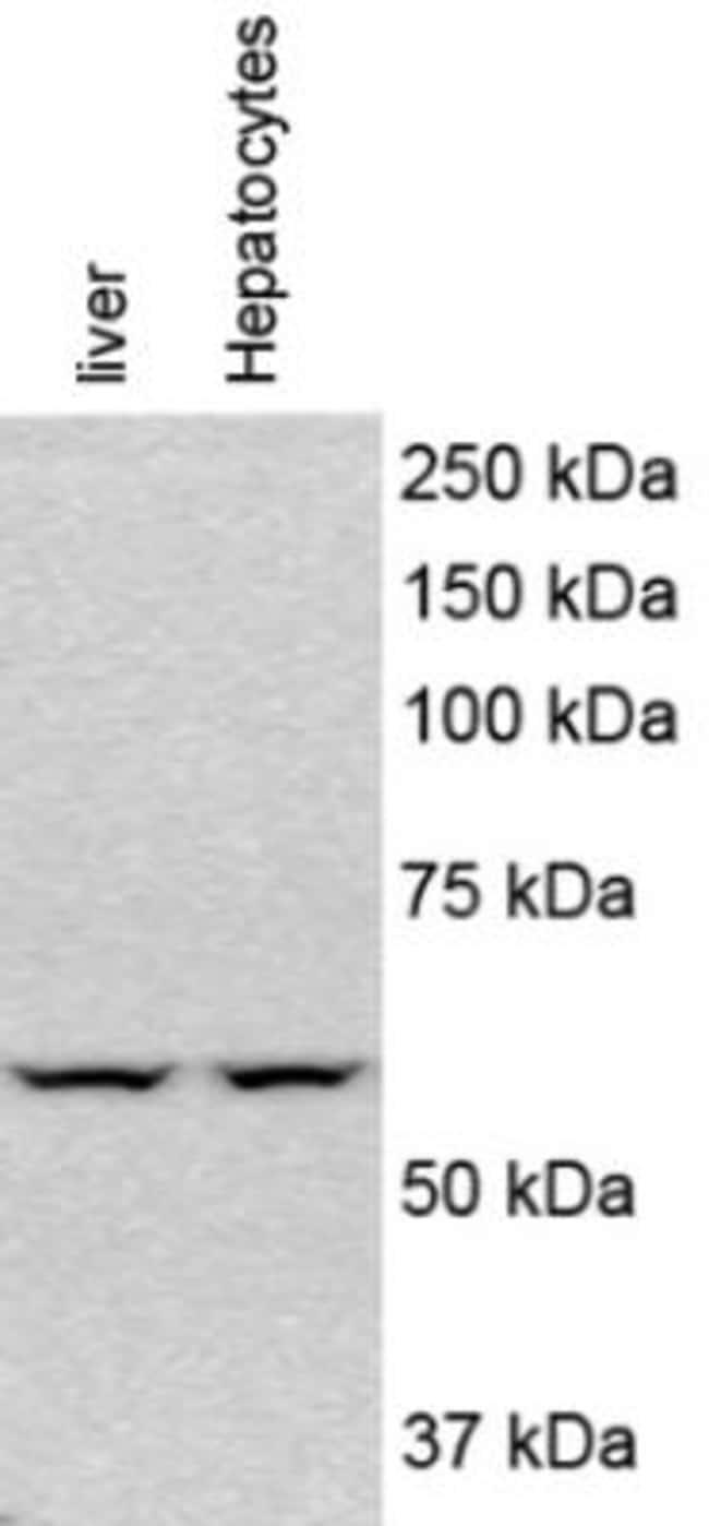anti-PINK1, Polyclonal, Novus Biologicals:Antibodies:Primary Antibodies