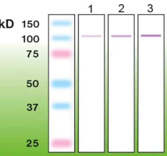 Rabbit anti-PKC alpha, Clone: G13-R, Novus Biologicals 0.05mL; Unlabeled:Life