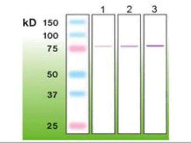 Rabbit anti-PKC beta, Clone: A10-F, Novus Biologicals 0.05mL; Unlabeled:Antibodies