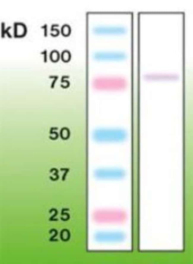 Rabbit anti-PKC gamma, Clone: A12-H, Novus Biologicals:Antibodies:Primary
