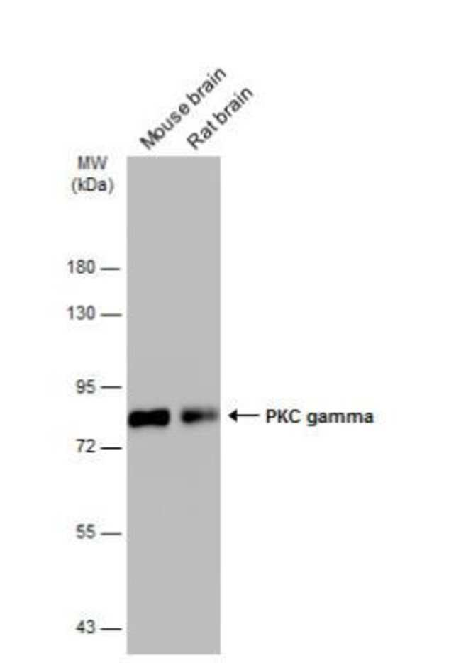 anti-PKC gamma, Polyclonal, Novus Biologicals 0.1mg; Unlabeled:Life Sciences