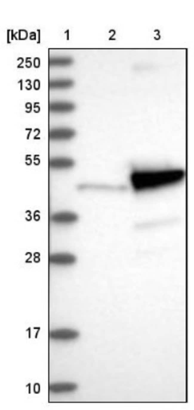 anti-PNMA2, Polyclonal, Novus Biologicals 0.1mL; Unlabeled:Life Sciences