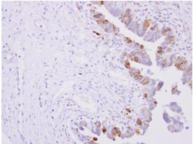 anti-POR/Cytochrome P450 Reductase, Polyclonal, Novus Biologicals 0.1mL;