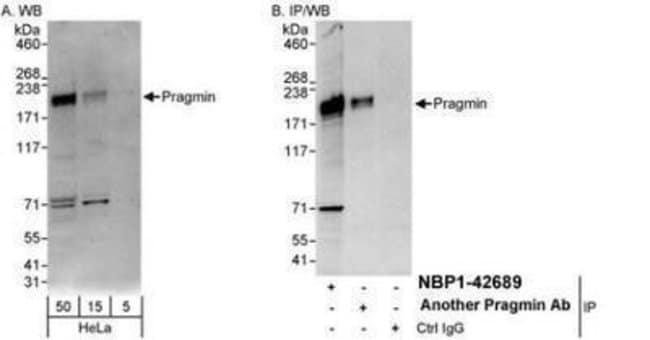 anti-PRAGMIN, Polyclonal, Novus Biologicals 0.1mL; Unlabeled:Life Sciences