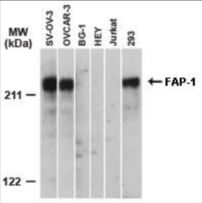 anti-PTPN13/PTPL1, Polyclonal, Novus Biologicals:Antibodies:Primary Antibodies