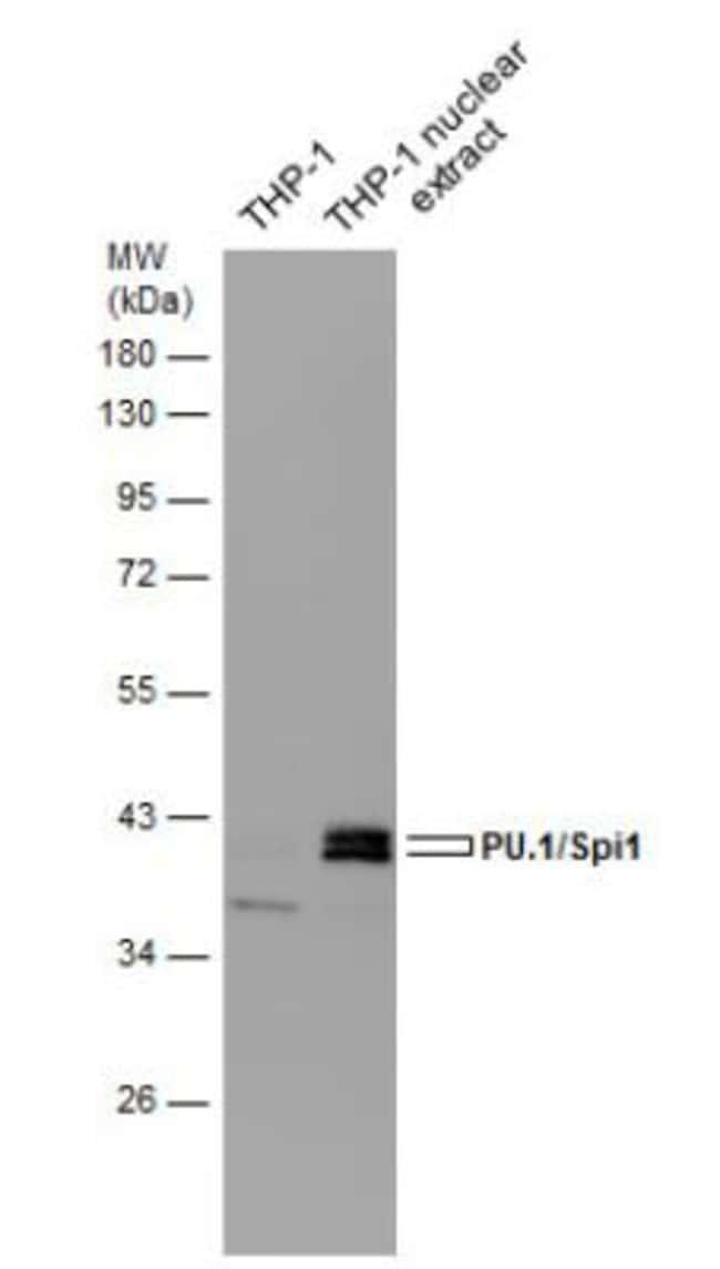 anti-PU.1/Spi-1, Polyclonal, Novus Biologicals 0.1mg; Unlabeled:Life Sciences