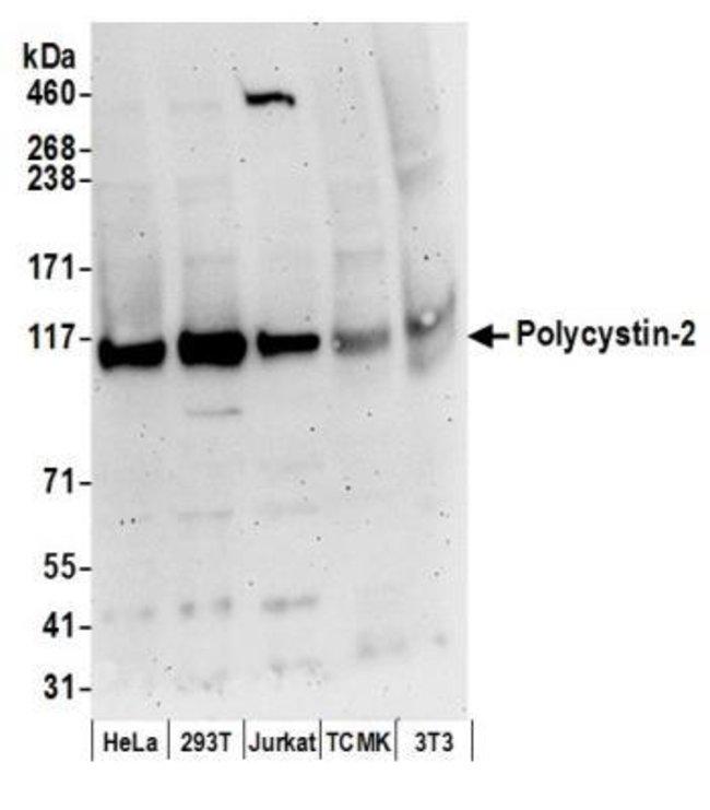 Polycystin 2 Rabbit anti-Human, Mouse, Polyclonal, Novus Biologicals 0.1mL;