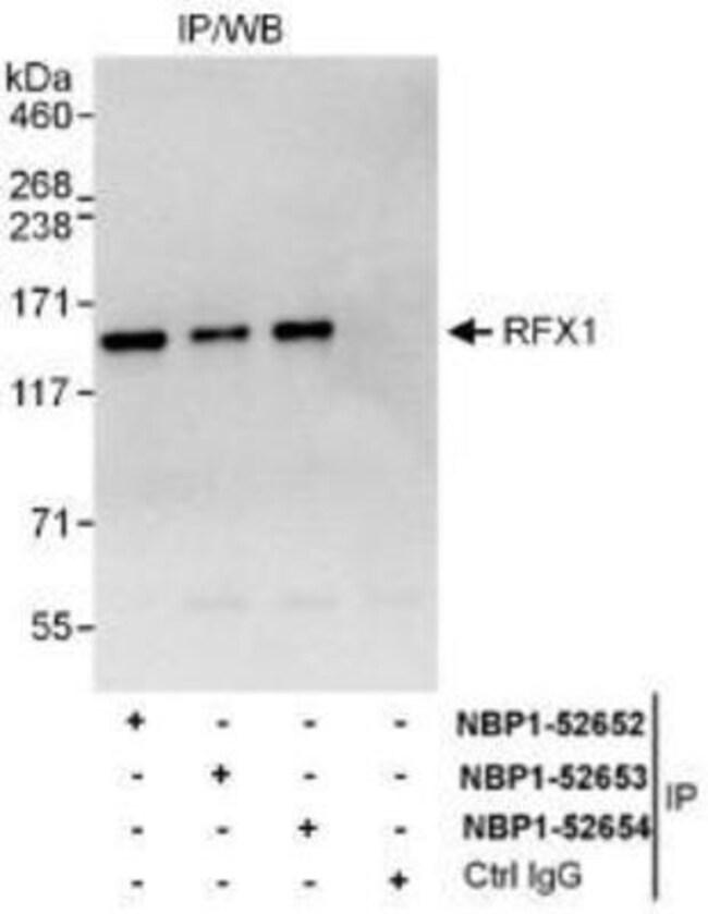 anti-RFX1, Polyclonal, Novus Biologicals 0.1mg; Unlabeled:Life Sciences