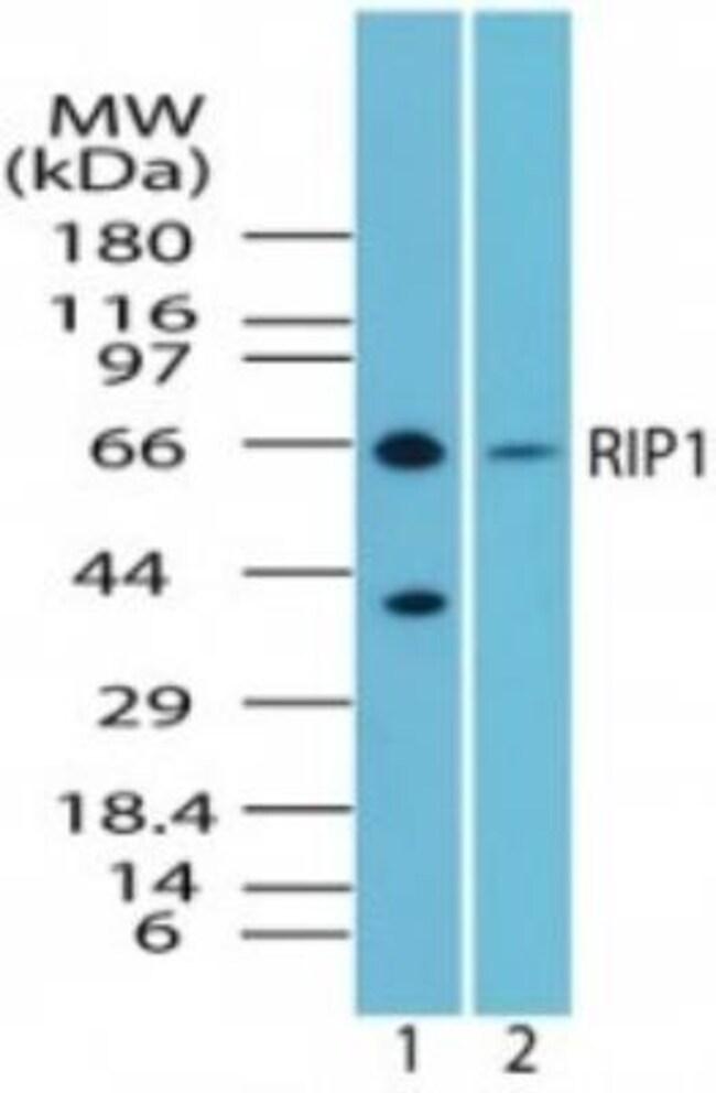 anti-RIPK1, Polyclonal, Novus Biologicals:Antibodies:Primary Antibodies