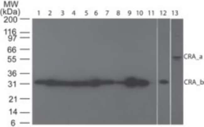 anti-RIP3/RIPK3, Polyclonal, Novus Biologicals:Antibodies:Primary Antibodies
