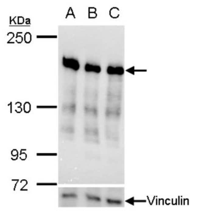 anti-RRBP1, Polyclonal, Novus Biologicals 0.1mg; Unlabeled:Antibodies