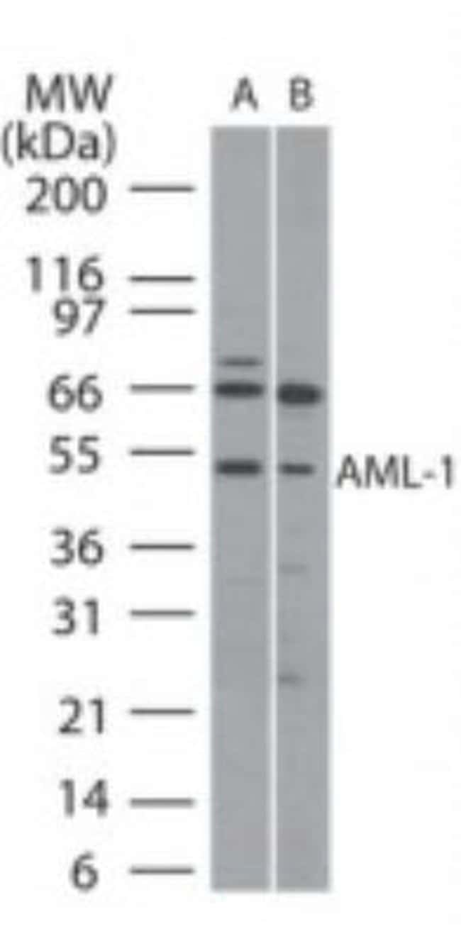 anti-RUNX1/CBFA2, Polyclonal, Novus Biologicals:Antibodies:Primary Antibodies