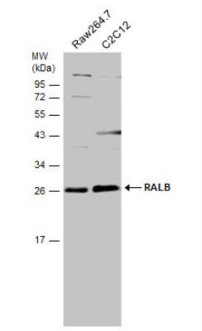 anti-RalB, Polyclonal, Novus Biologicals 0.1mL; Unlabeled:Life Sciences