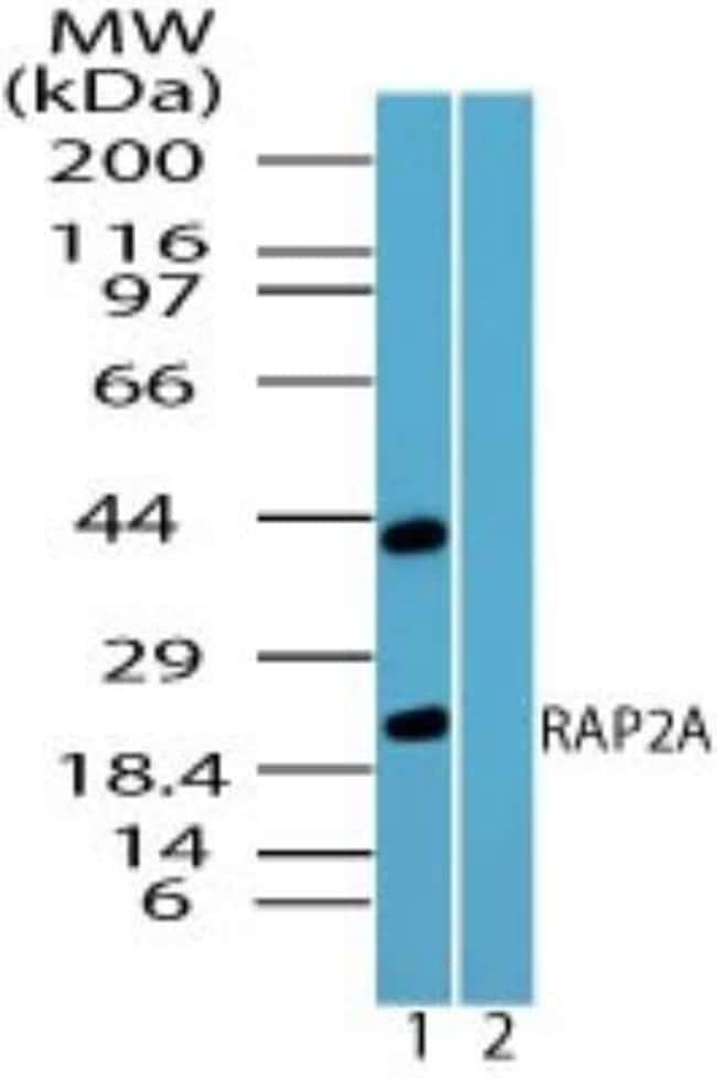 anti-Rap2A, Polyclonal, Novus Biologicals:Antibodies:Primary Antibodies