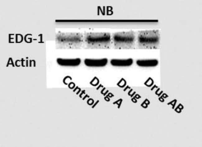 anti-S1P1/EDG-1, Polyclonal, Novus Biologicals:Antibodies:Primary Antibodies