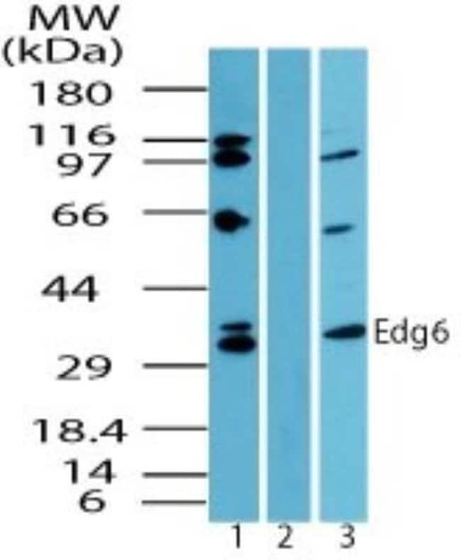anti-S1P4/EDG-6, Polyclonal, Novus Biologicals:Antibodies:Primary Antibodies