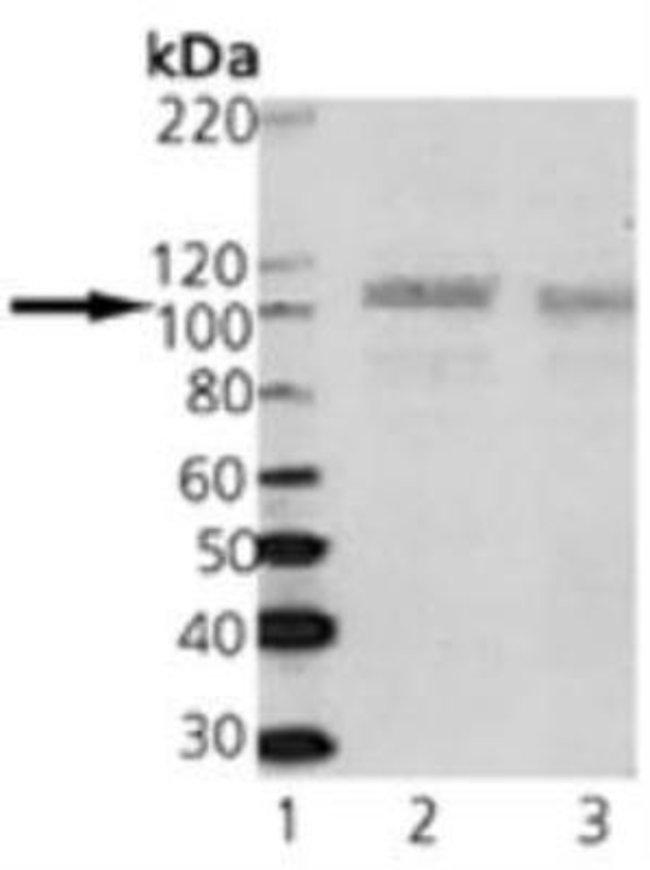 SAP102 Mouse anti-Mouse, Rat, Clone: 7D3, Novus Biologicals:Antibodies:Primary