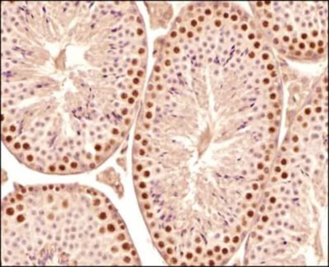 anti-SCP3/SYCP3, Polyclonal, Novus Biologicals:Antibodies:Primary Antibodies