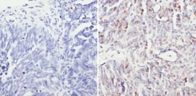 anti-SIN3A, Polyclonal, Novus Biologicals:Antibodies:Primary Antibodies