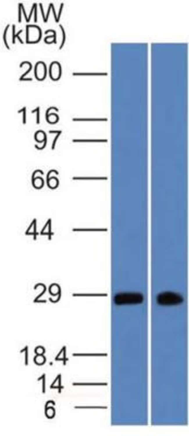 Mouse anti-SLC31A1/CTR1, Clone: 3C7.1B7, Novus Biologicals:Antibodies:Primary