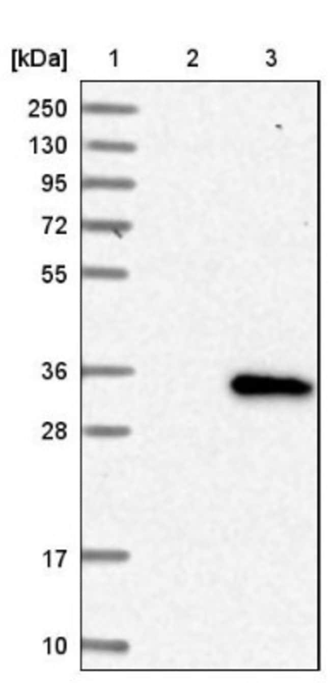 anti-SLC39A9/ZIP9, Polyclonal, Novus Biologicals 0.1mL; Unlabeled:Life