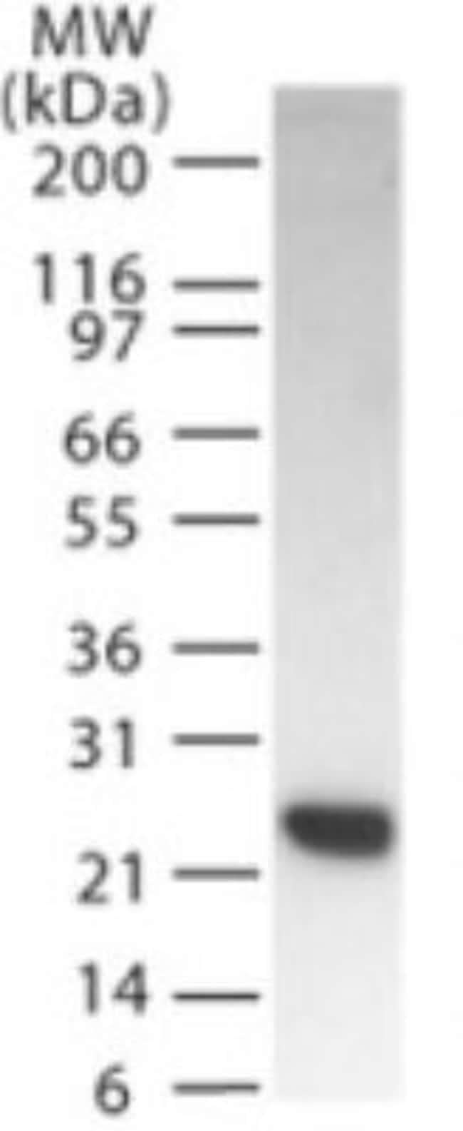 anti-SMAC/Diablo, Polyclonal, Novus Biologicals:Antibodies:Primary Antibodies