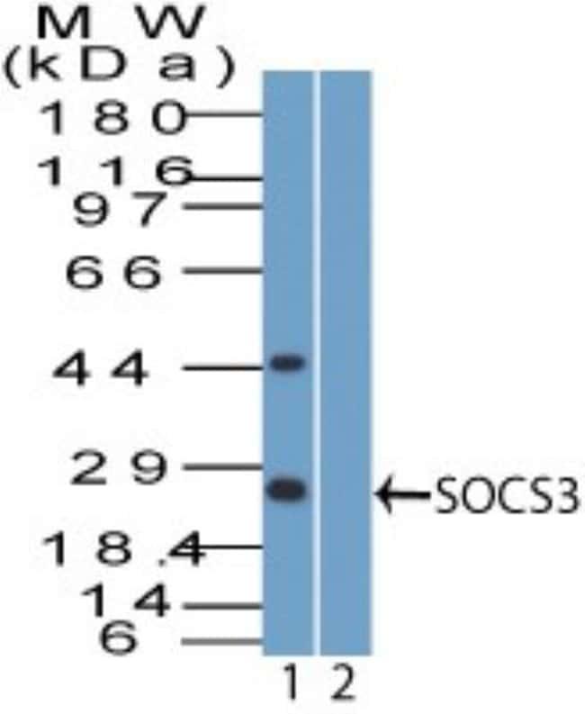 anti-SOCS-3, Polyclonal, Novus Biologicals:Antibodies:Primary Antibodies