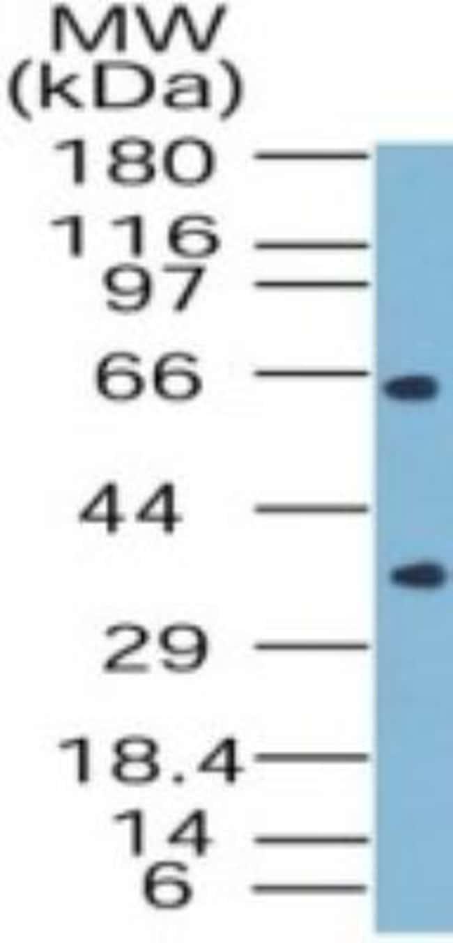 anti-SODD/BAG4, Polyclonal, Novus Biologicals:Antibodies:Primary Antibodies