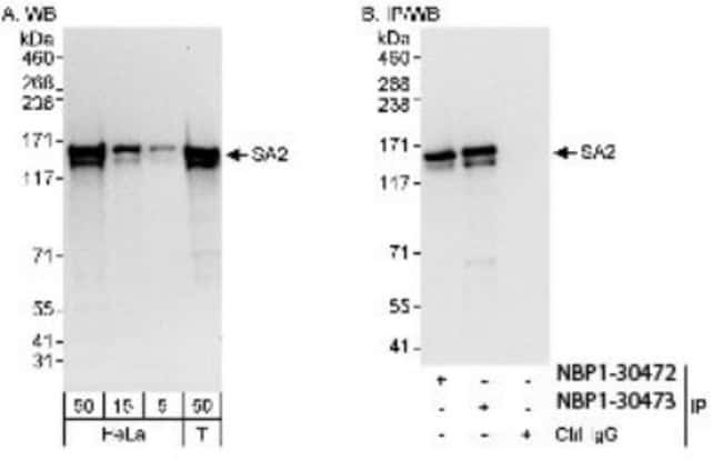anti-STAG2, Polyclonal, Novus Biologicals 0.1mL; Unlabeled:Life Sciences