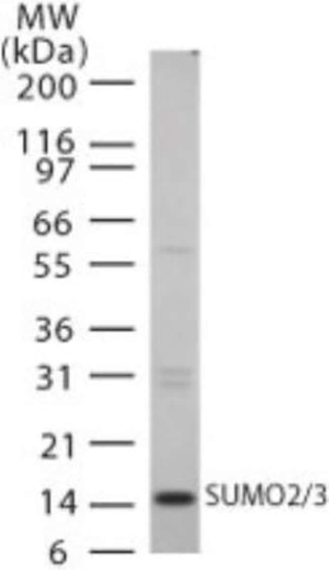 anti-SUMO2, Polyclonal, Novus Biologicals:Antibodies:Primary Antibodies