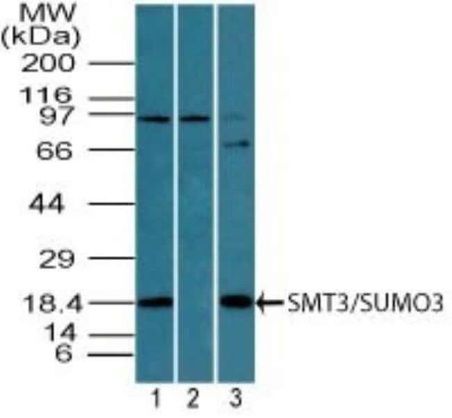 anti-SUMO3, Polyclonal, Novus Biologicals:Antibodies:Primary Antibodies