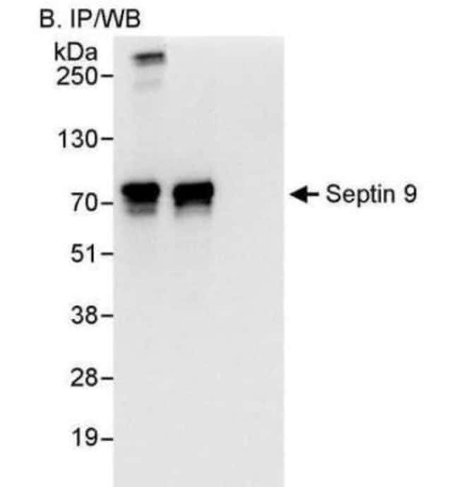 anti-Septin-9, Polyclonal, Novus Biologicals 0.1mL; Unlabeled:Life Sciences