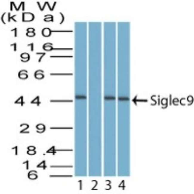 Siglec-9 Rabbit anti-Bovine, Canine, Equine, Monkey, Primate, Polyclonal,