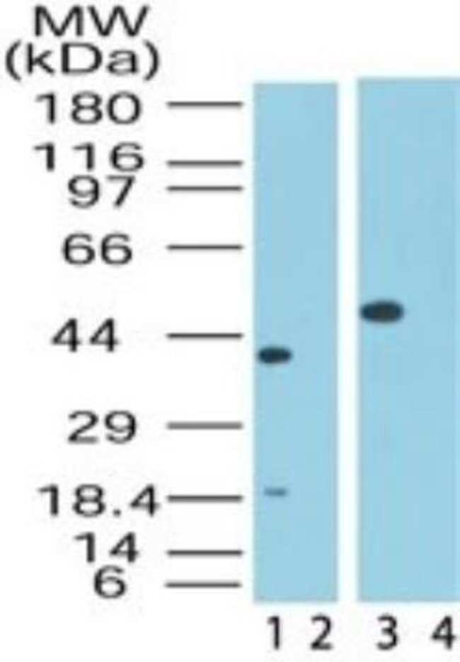 anti-Sin1/MAPKAP1, Polyclonal, Novus Biologicals:Antibodies:Primary Antibodies