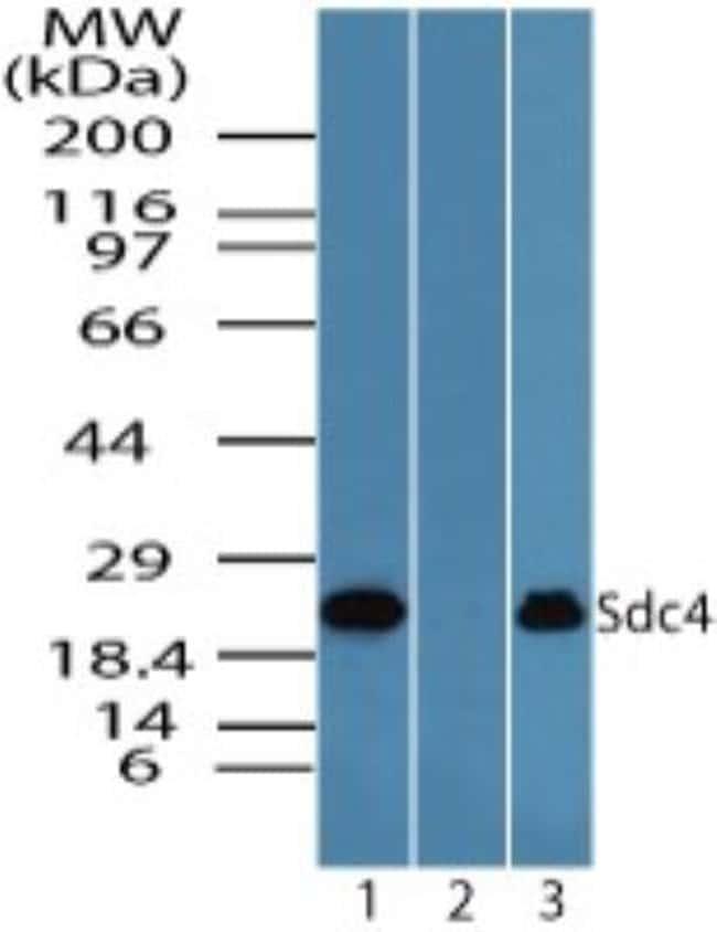 anti-Syndecan-4, Polyclonal, Novus Biologicals:Antibodies:Primary Antibodies