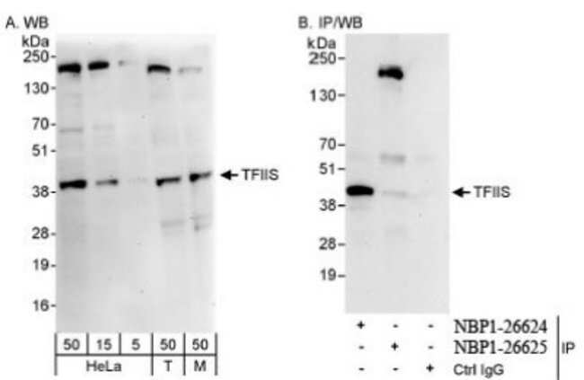 anti-TCEA1, Polyclonal, Novus Biologicals 0.1mL; Unlabeled:Life Sciences