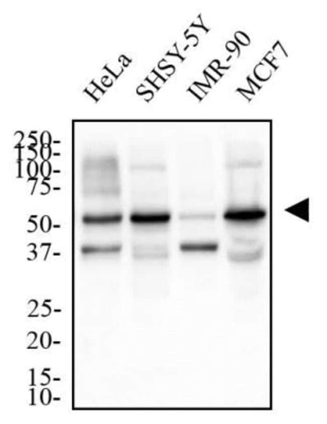 anti-TERF21P, Polyclonal, Novus Biologicals:Antibodies:Primary Antibodies