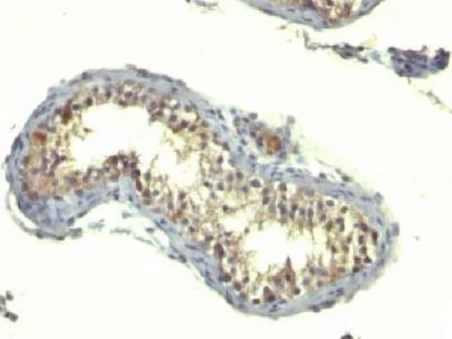 Mouse anti-TGF-alpha, Clone: TG86, Azide Free, Novus Biologicals:Antibodies:Primary