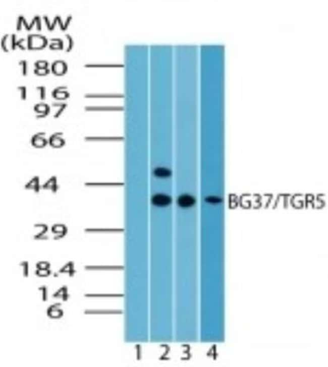 anti-TGR5/GPBAR1, Polyclonal, Novus Biologicals:Antibodies:Primary Antibodies