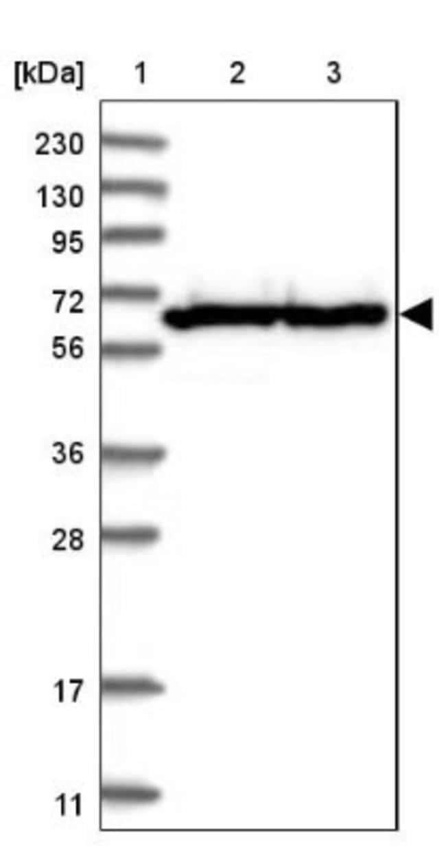 anti-TMCO6, Polyclonal, Novus Biologicals 0.1mL; Unlabeled:Life Sciences