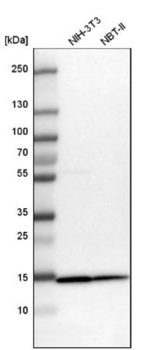 anti-TOMM20, Polyclonal, Novus Biologicals 0.1mL; Unlabeled:Life Sciences