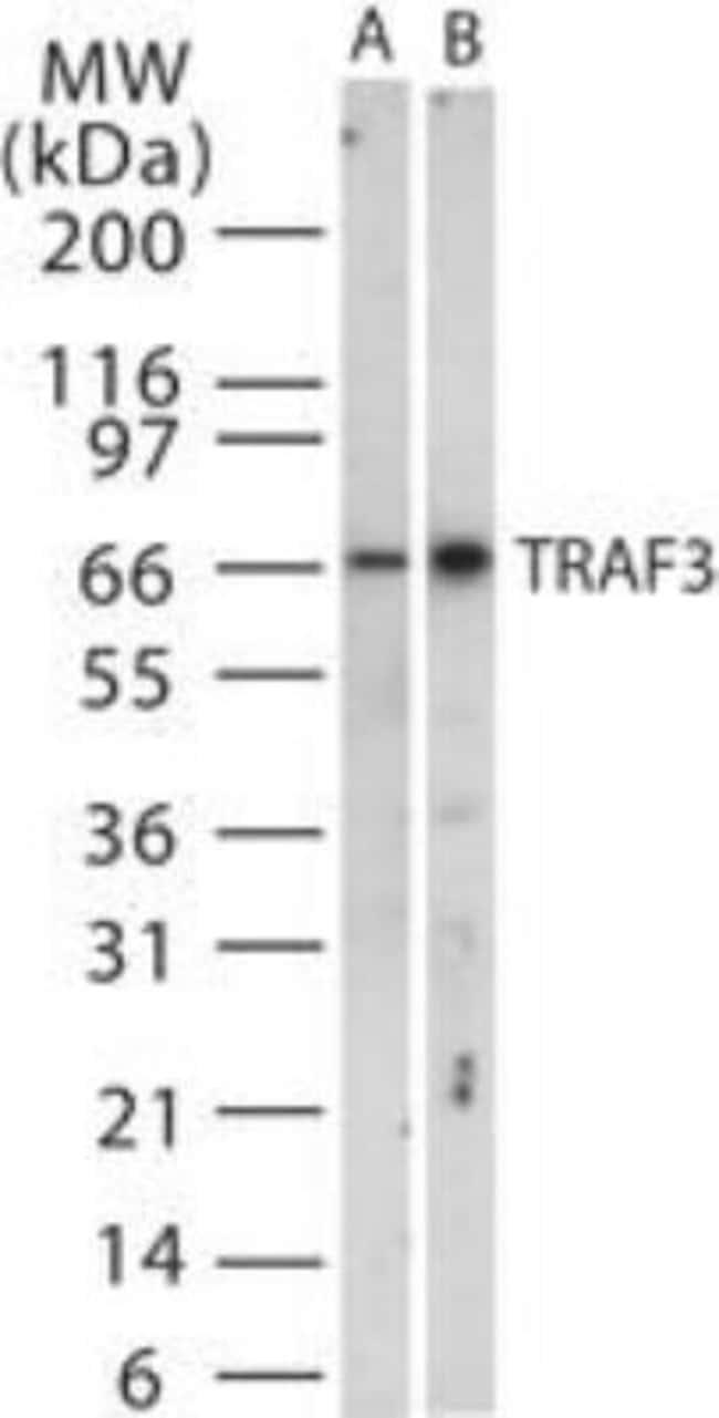 anti-TRAF-3, Polyclonal, Novus Biologicals:Antibodies:Primary Antibodies
