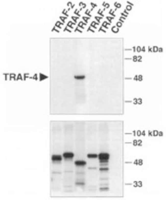 anti-TRAF-4, Polyclonal, Novus Biologicals:Antibodies:Primary Antibodies