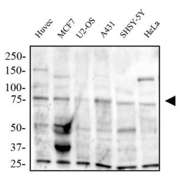 anti-TRAF7, Polyclonal, Novus Biologicals:Antibodies:Primary Antibodies