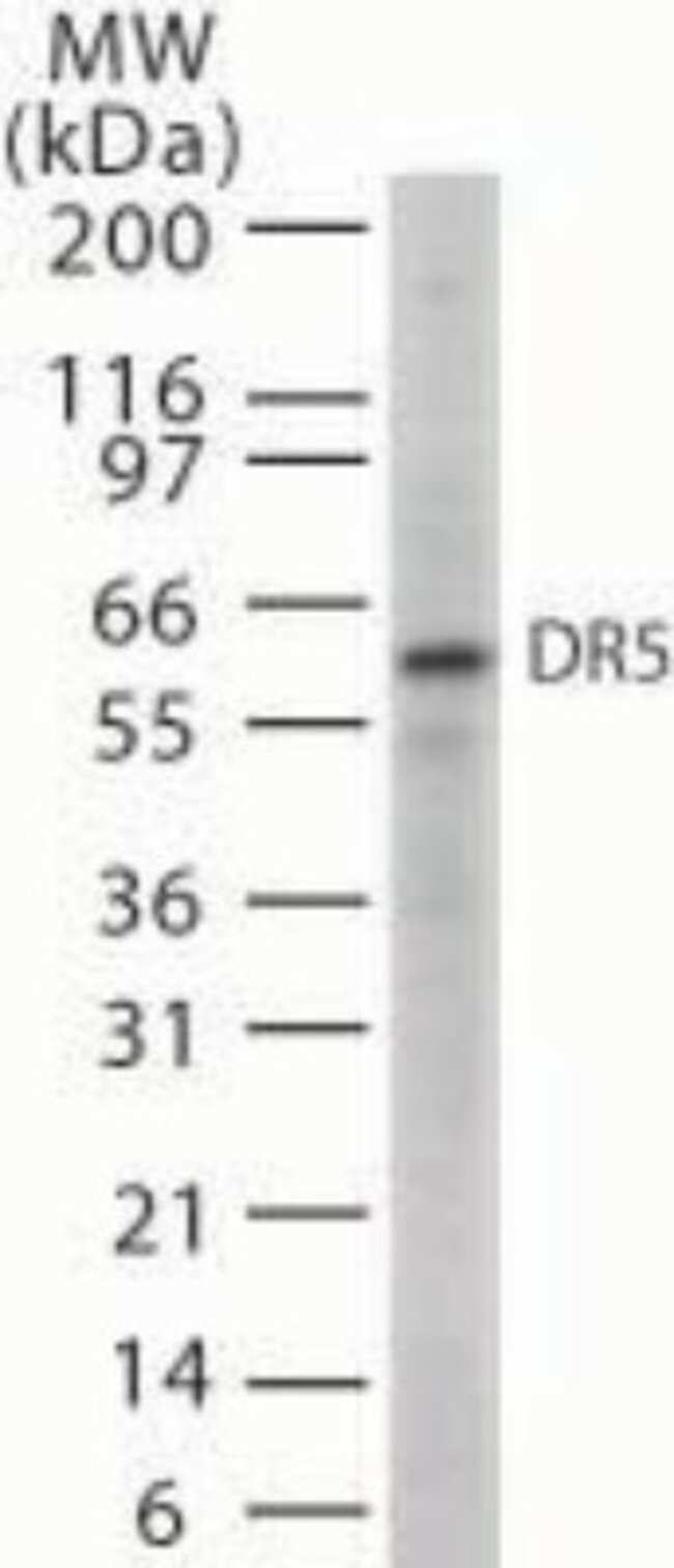 anti-TRAIL R2/TNFRSF10B, Polyclonal, Novus Biologicals:Antibodies:Primary